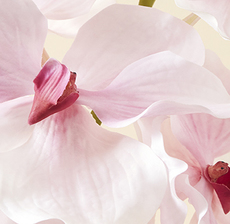 H19 orchid
