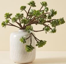 echeveria branche