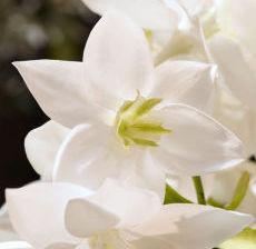 1_31-Lou-de-Castellane-Artificielles-Artificial-Artificiale-Fleurs-Flowers-Fiore-Flor-EUCHARIS
