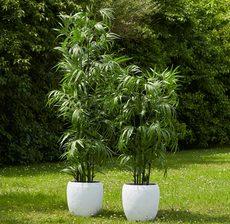bambou royal