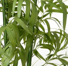 bambou royal zoom