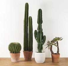 assortiment cactus