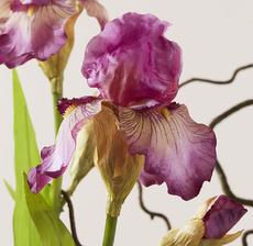 iris zoom