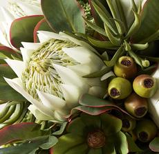zoom protea